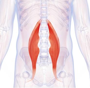 Hip Flexor Muscles